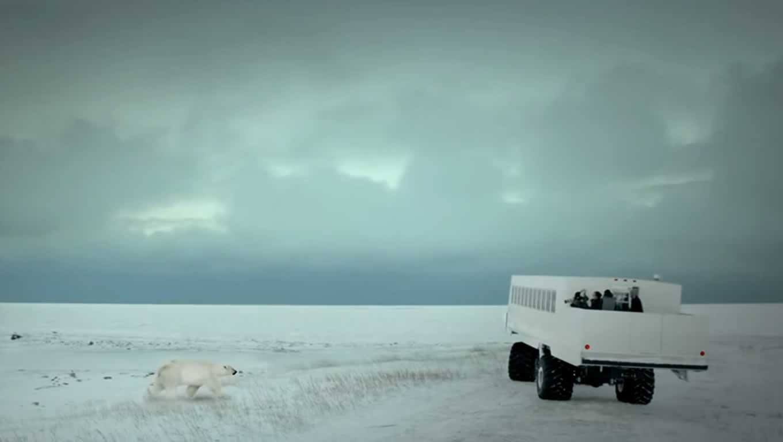 Wild Polar Bear Safari, Manitoba Canada Heart Beats Campaign